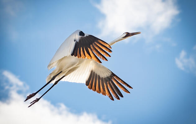 A Win for Whooping Cranes: Court Vacates Permit for R-Project