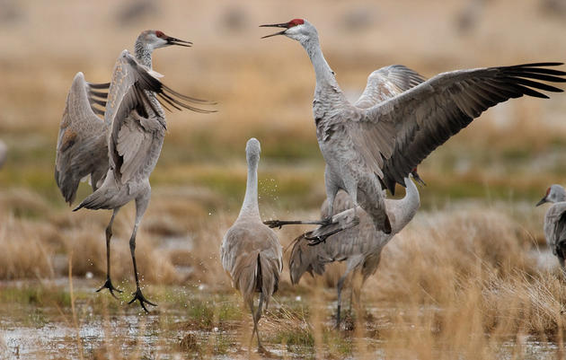 Audubon Nebraska's Crane Festival Call for Presentations