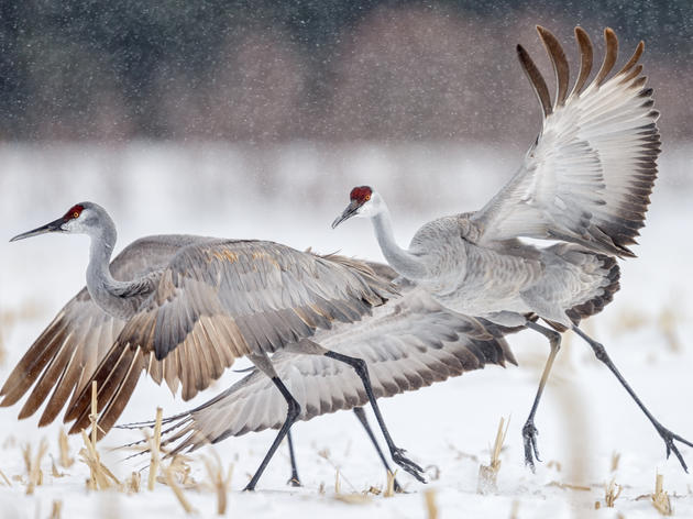 Crane Season Registration Opens on January 2