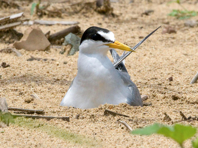 Interior Least Tern Decision Demonstrates Value of Endangered Species Act