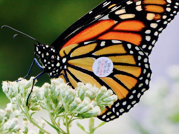Monarch Watch Tagging: Rowe's First In-Person Event since March