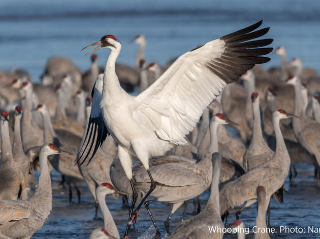 Audubon Nebraska Fights for Whooping Cranes by Supporting Lawsuit